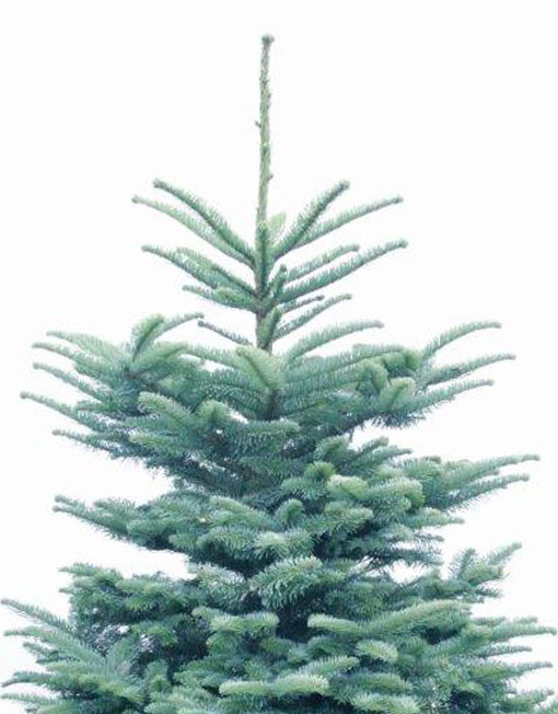 Cut Noble Fir Christmas Tree