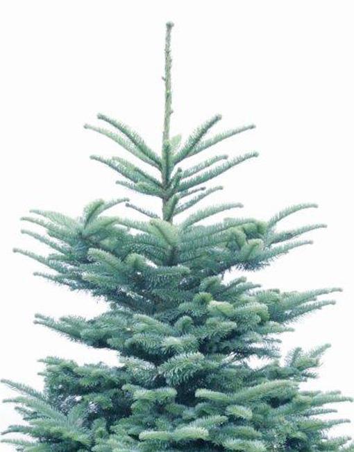 Noble Fir Christmas Tree.Noble Fir