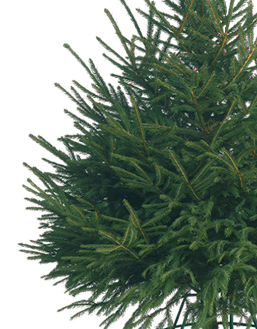Cut Norway Spruce Christmas Tree