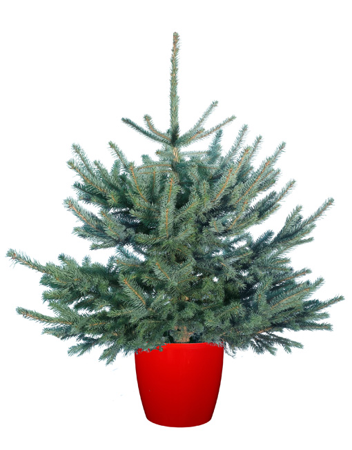 Pot Grown Colorado Blue Spruce