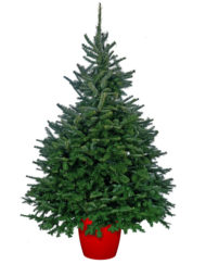 Pot Grown Fraser Fir