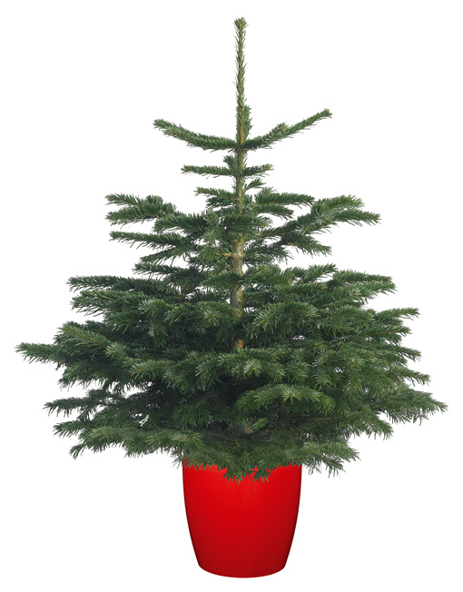 Pot Grown Nordmann Fir