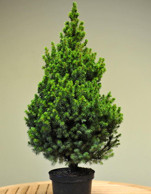 Pot Grown Table Top Christmas Tree